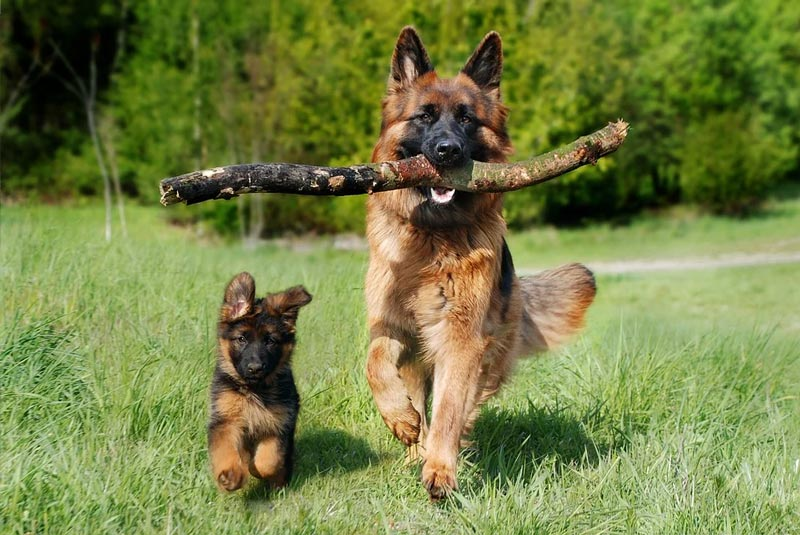 Expense of Raising a german shepherd in India