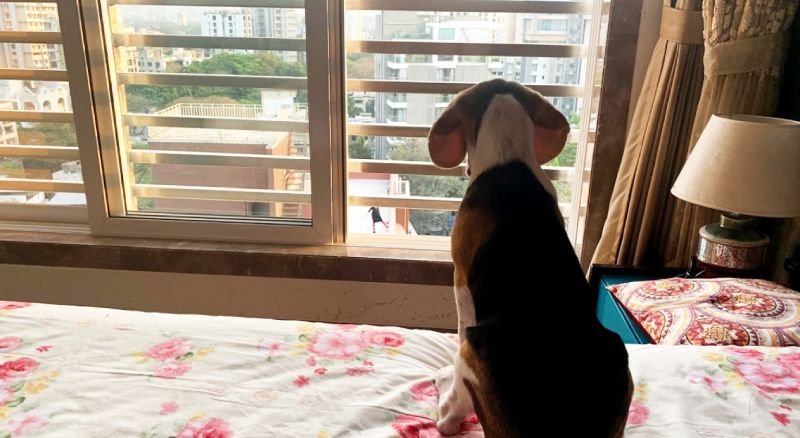 beagle in appartment