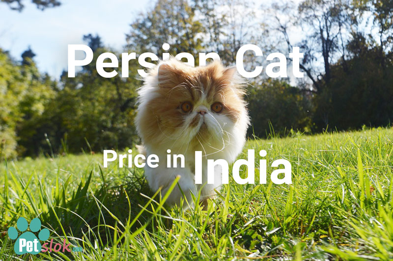 Persian Cat Price in India