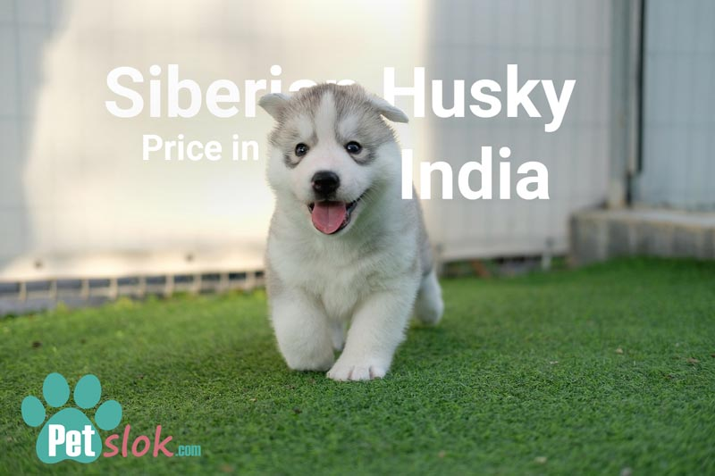Siberian Husky Puppy S Price In India