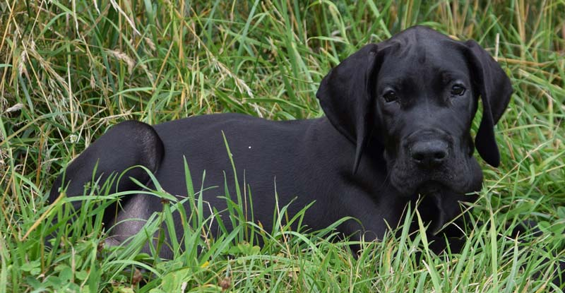 Great Dane puppy Price in India