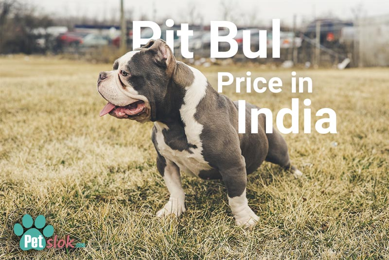 Pit Bull Puppy Price in India