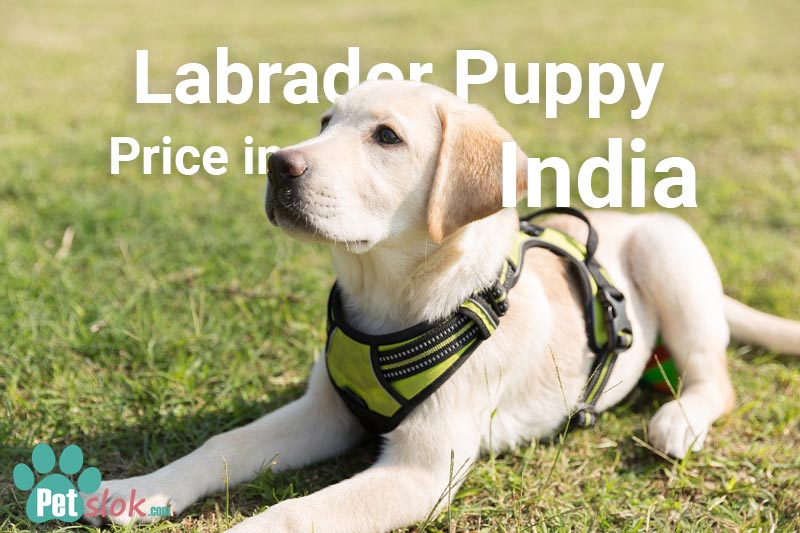 Labrador puppy price in India