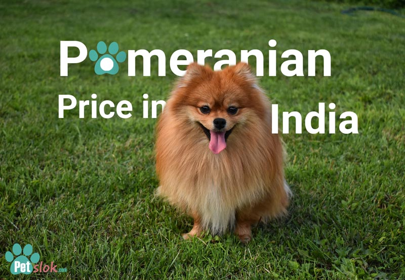 Pomeranian Puppy price in India