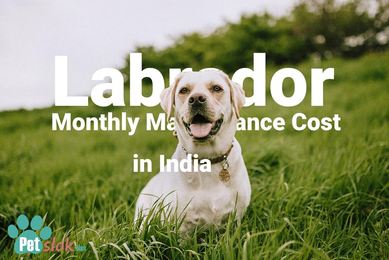 Monthly Maintenance Cost of Labrador in India