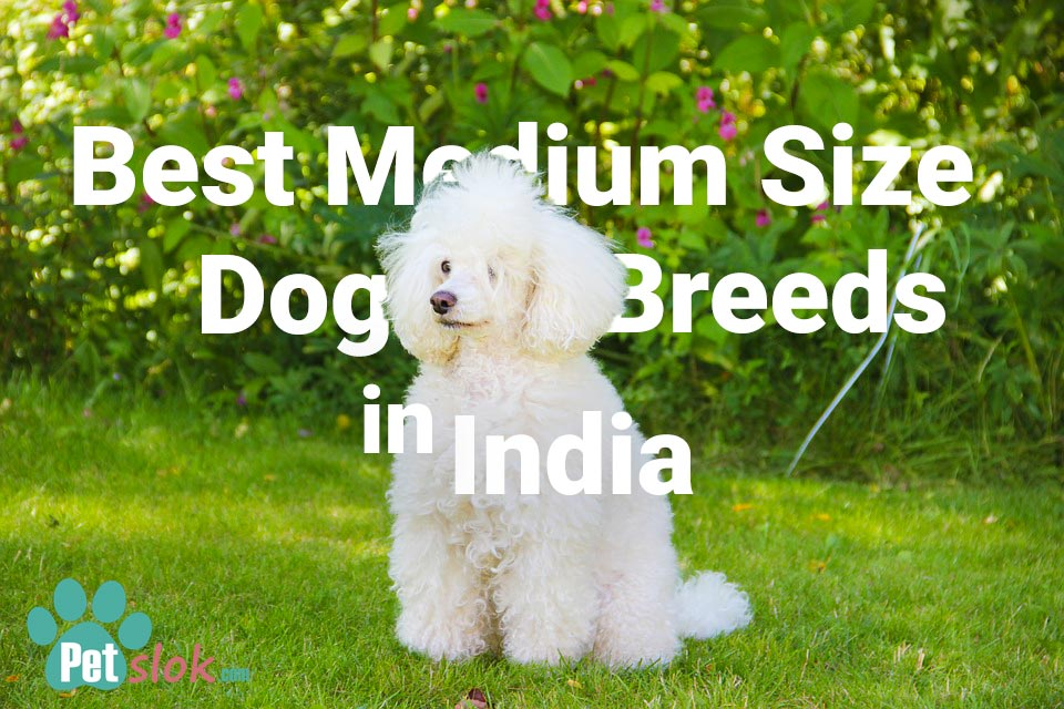 Best medium size dogs in India