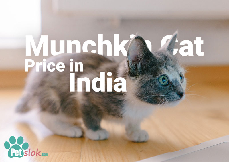Munchkin Cat Price in India