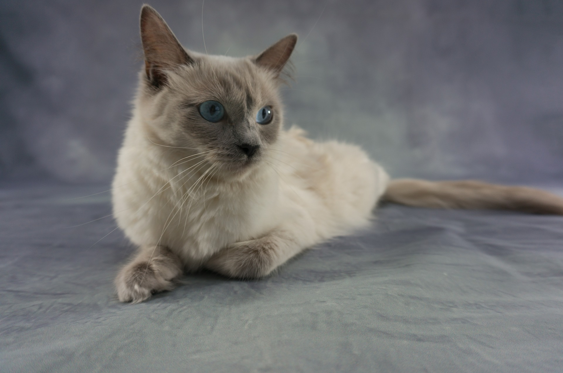 ragdoll kittens price
