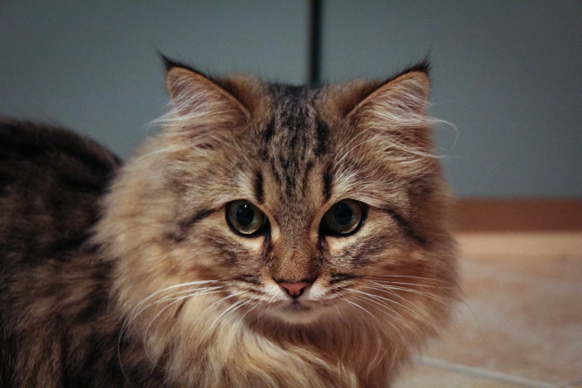 Maine Coon Cost