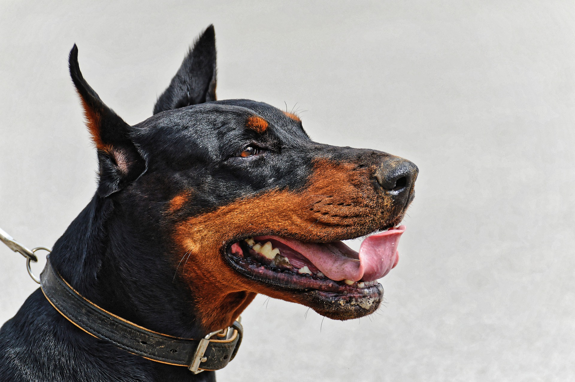 pros cons Dobermans
