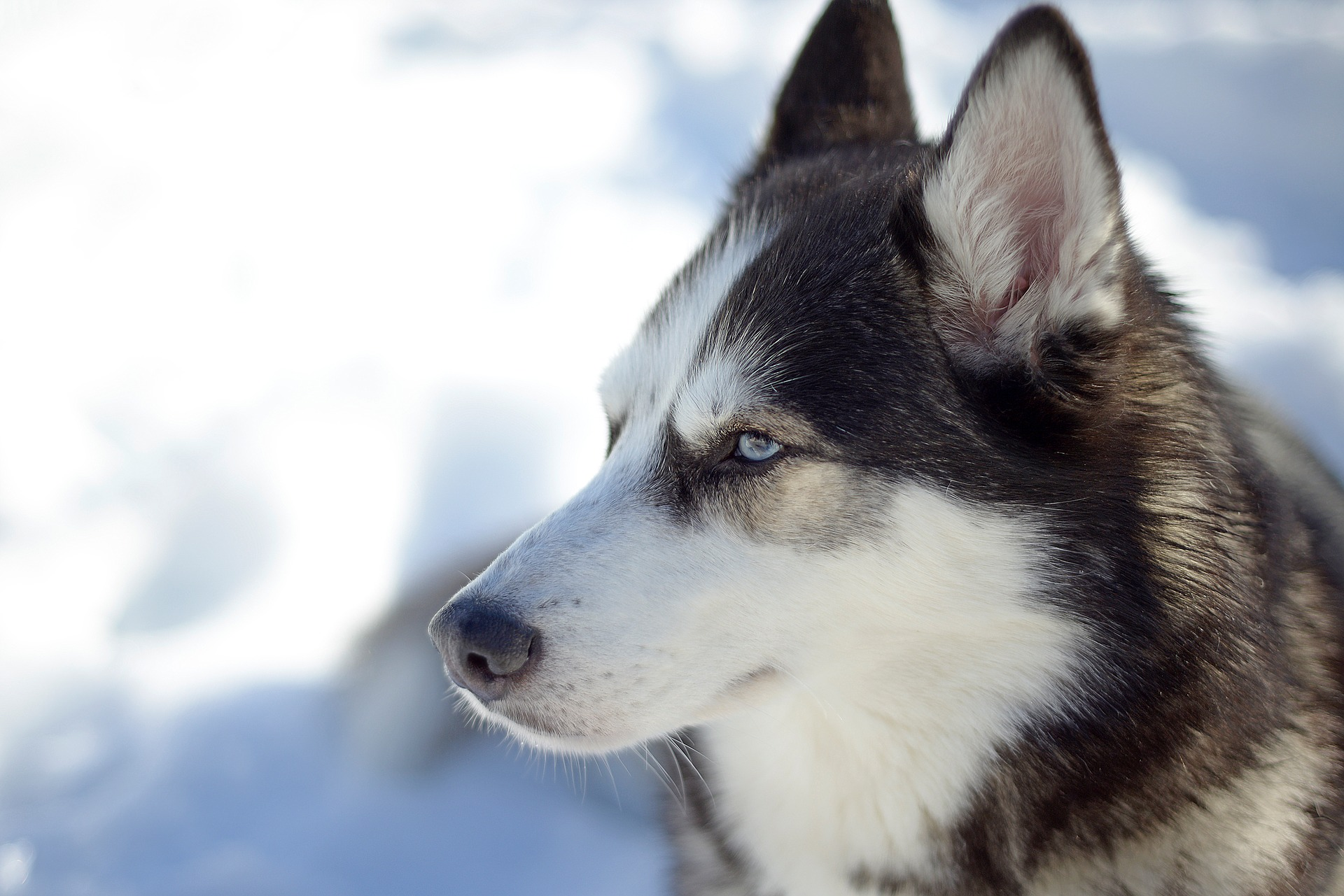 Siberian Husky pros and cons