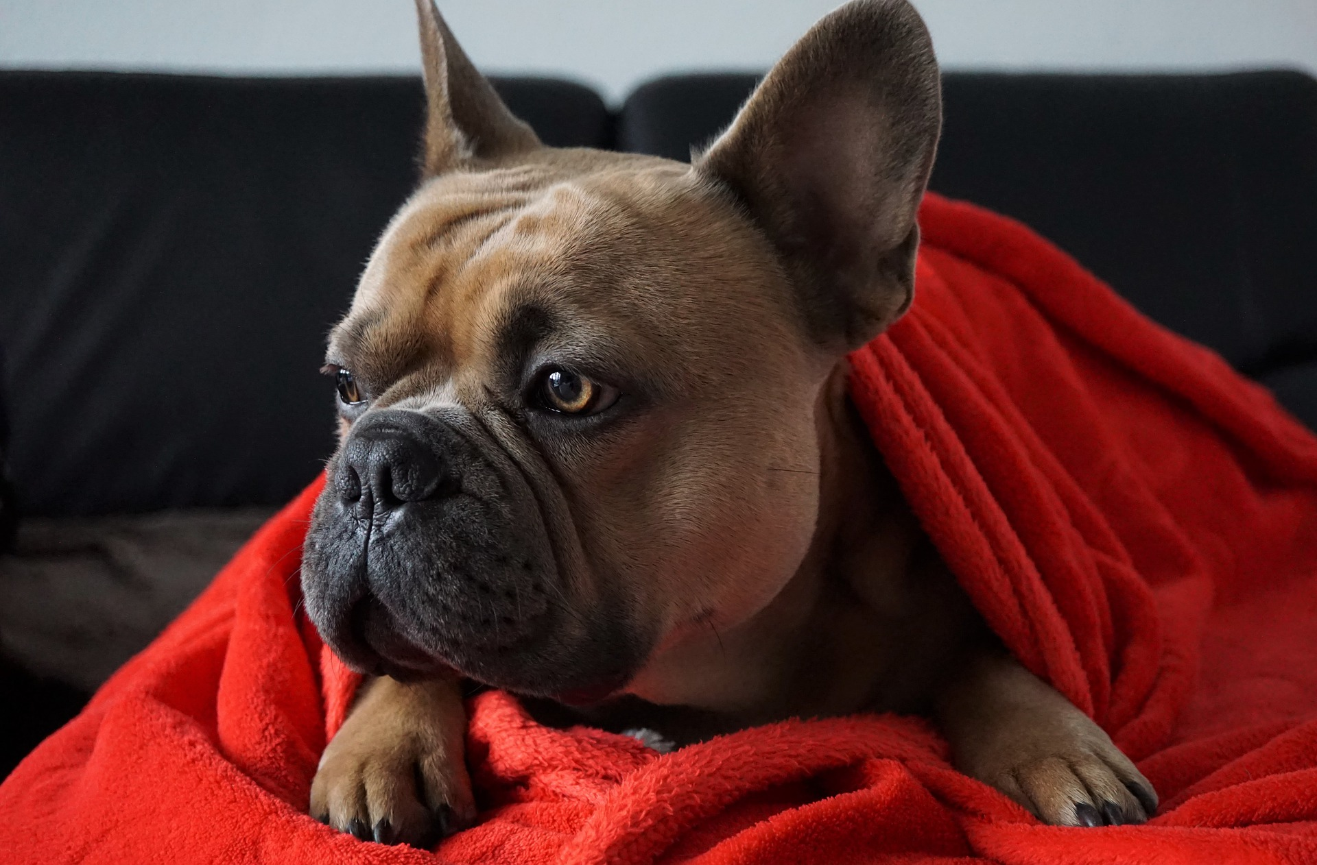 French Bulldogs Price
