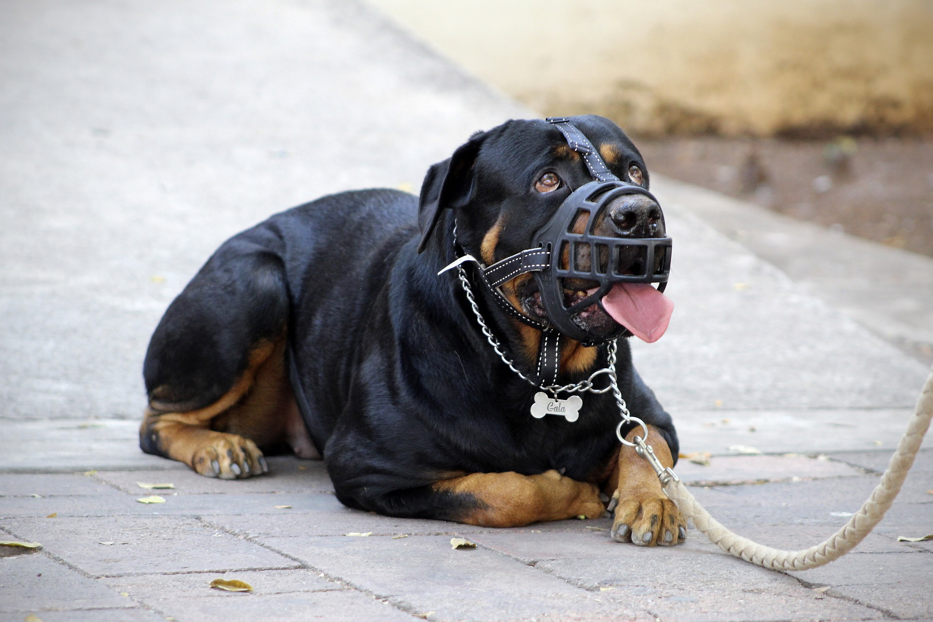 pros and cons of rottweiler