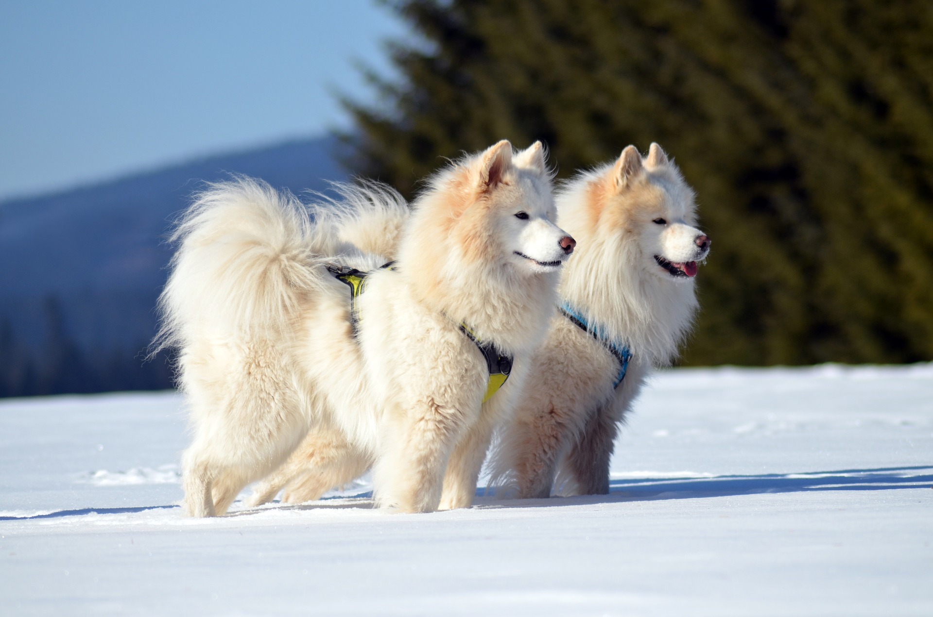 pros and cons of samoyed