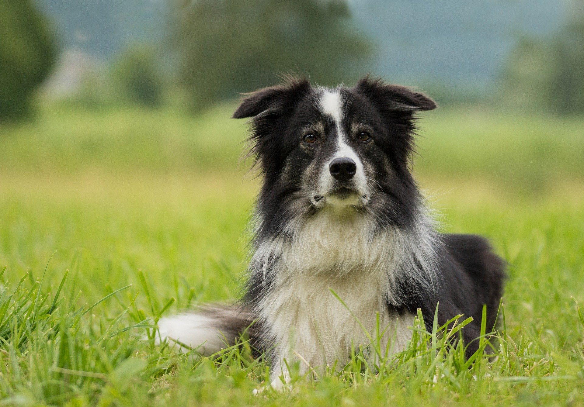Border Collie Pros and Cons