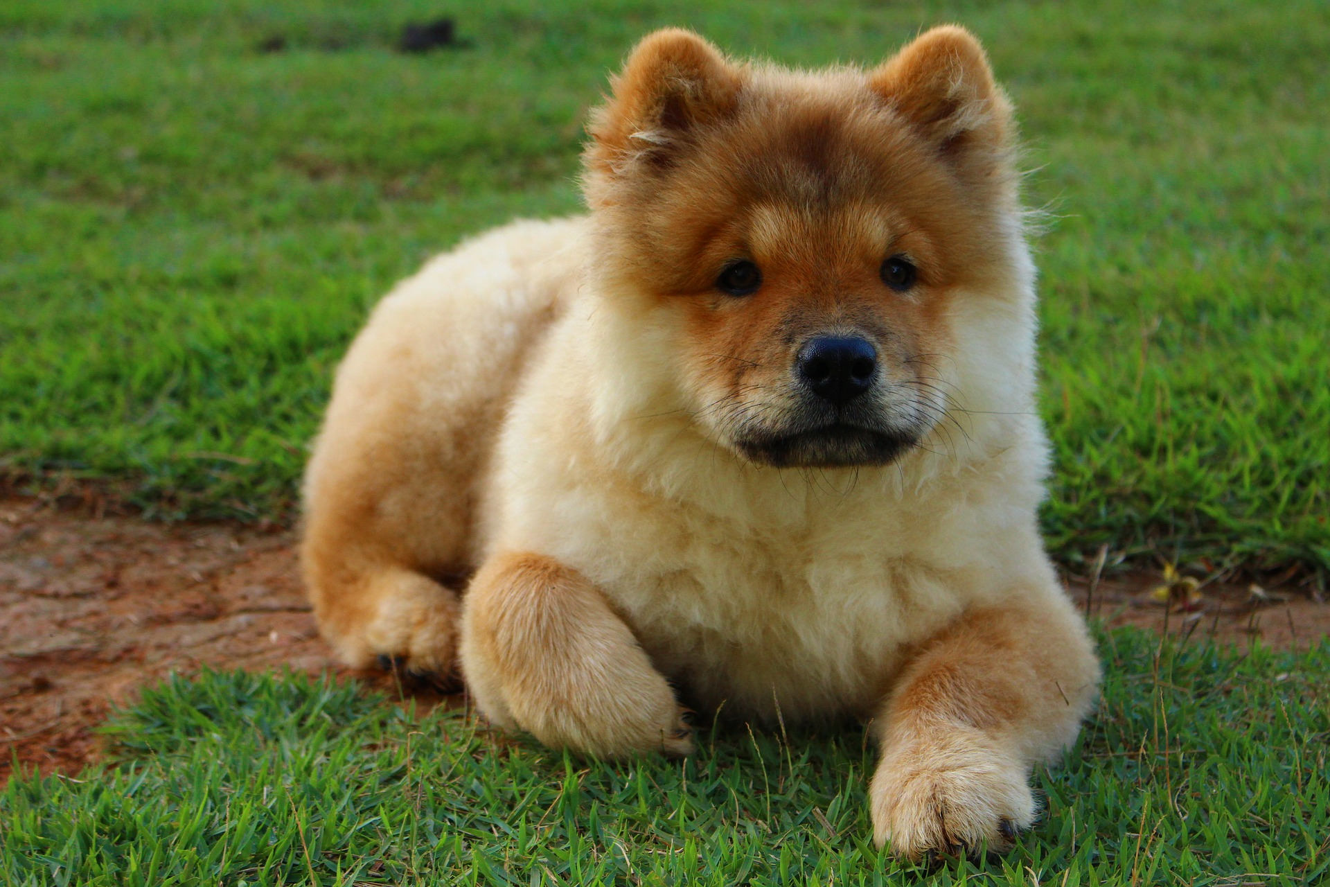 chow chow pros and cons